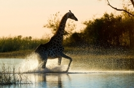 private botswana safari giraffe
