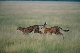 private botswana safari cheetahs running