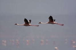 flamingo-birding-safari