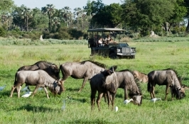 wildebeest on game drive in Africa