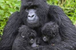 mountain gorilla babies Private Rwanda Safari