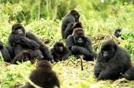 mountain gorillas Private Rwanda Safari