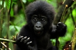 baby mountain gorilla Private Rwanda Safari