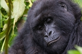 mountain gorilla Private Rwanda Safari