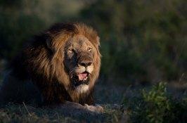 lion-safari-south-africa
