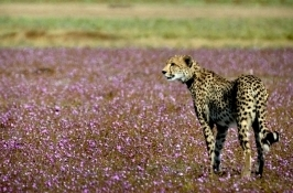 cheetah wildebeest Private Tanzania Safari