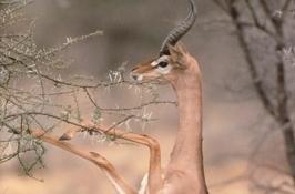 tanzania-gerenuk
