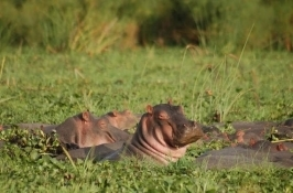 hippos Private Tanzania Safari