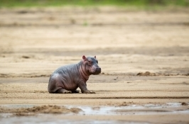baby hippo private Zambia safari