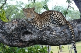 leopard in tree private Zambia safari