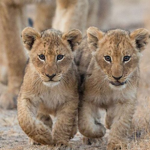Lion cubs - Zambia