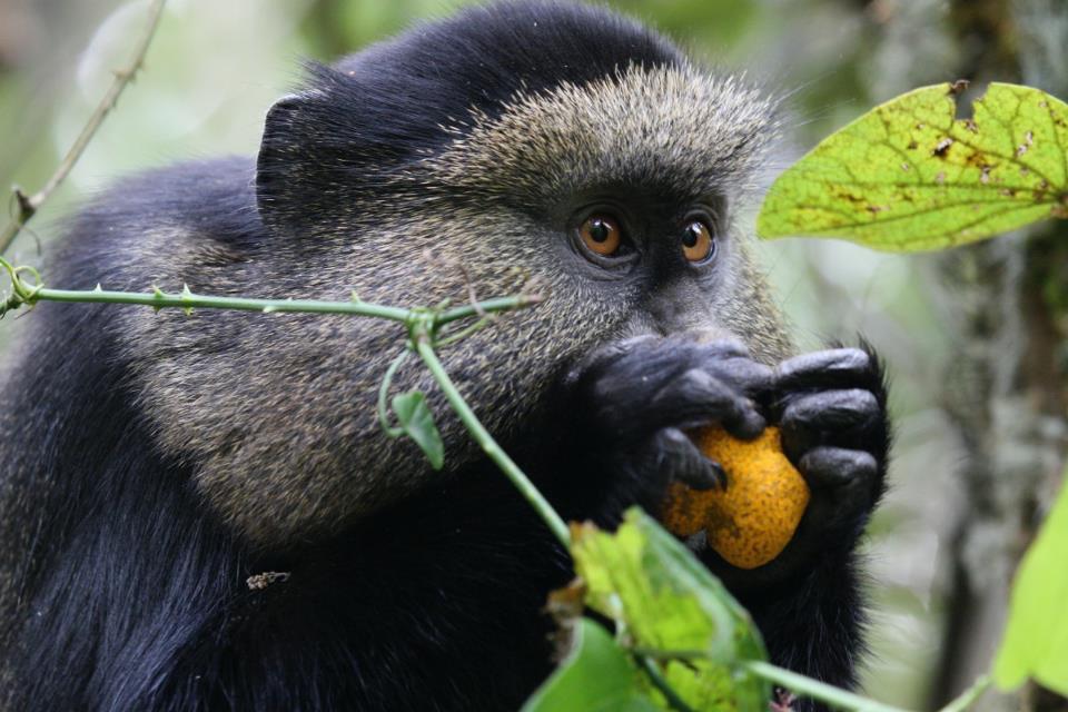 27_virunga_golden_monkey