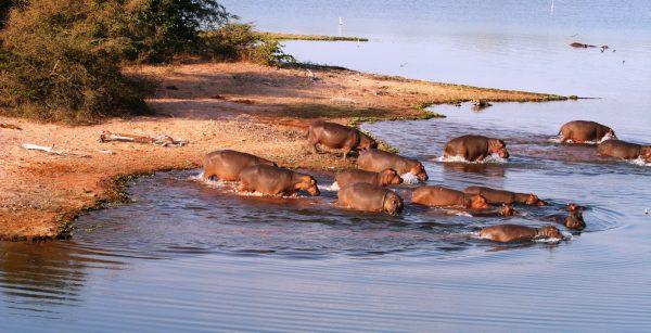 Changa_-_Hippos