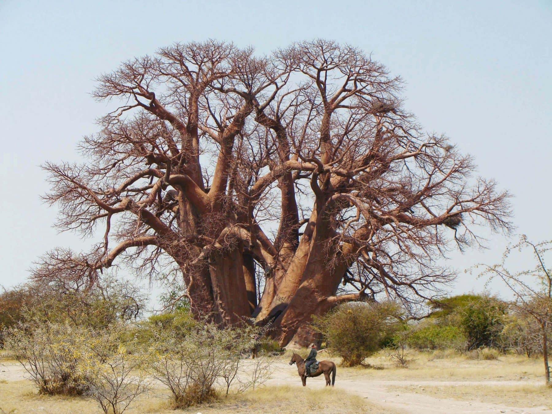 Chapmans_Baobab_2