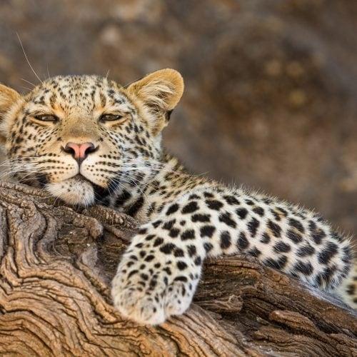 Mashatu_Leopard_31