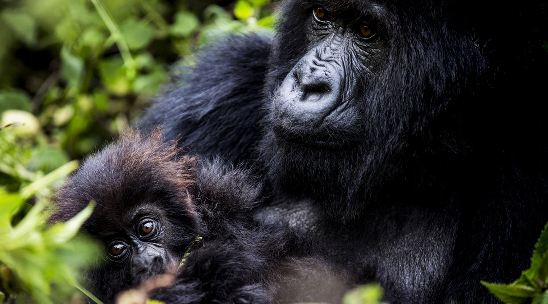 african-gorilla-trekking-safari