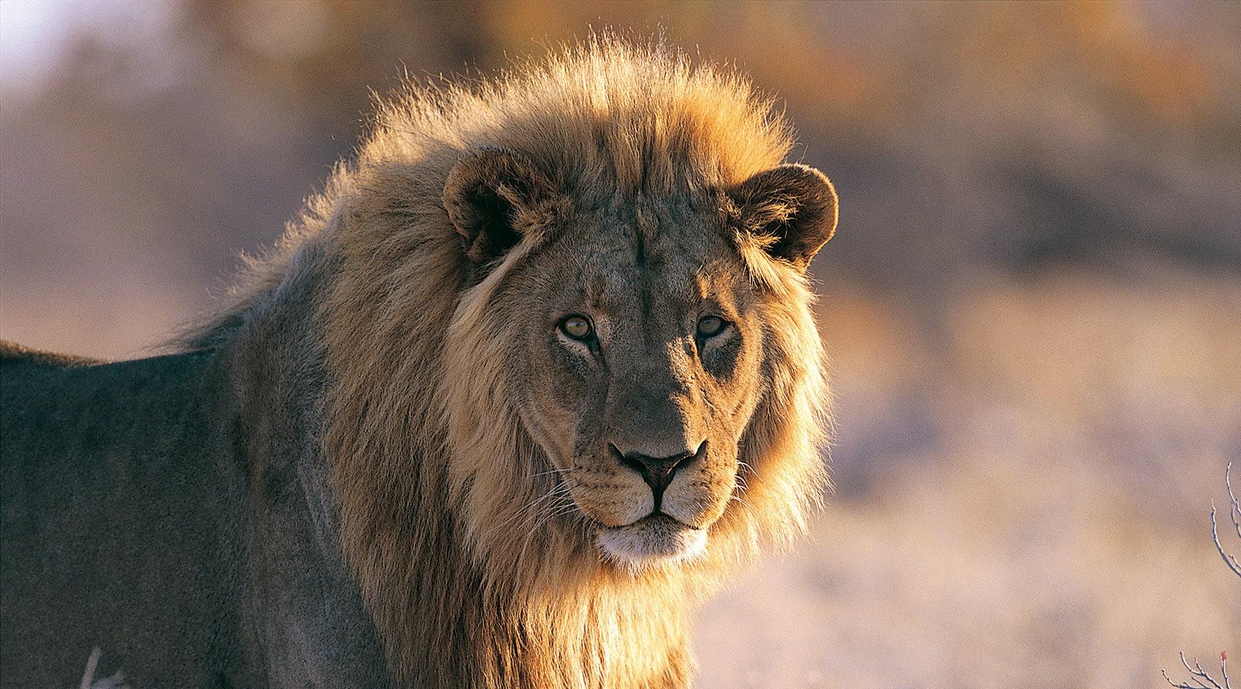 african-safari-lion