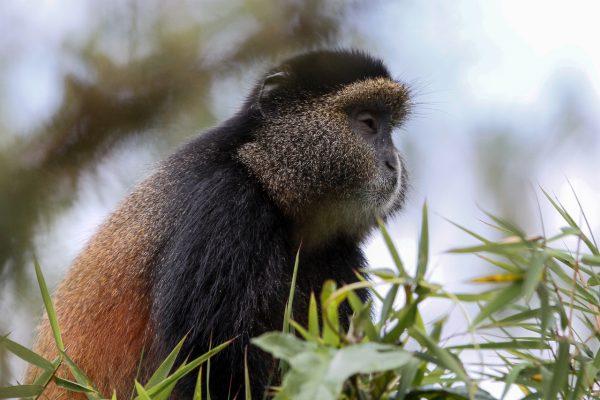 c.culbert_rwanda_goldenmonkey-11