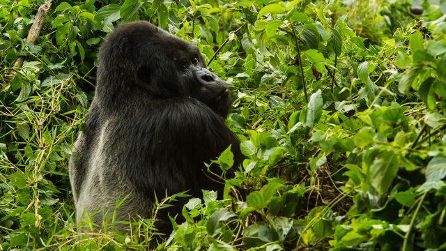 Rwanda - Gorilla Experience Safari