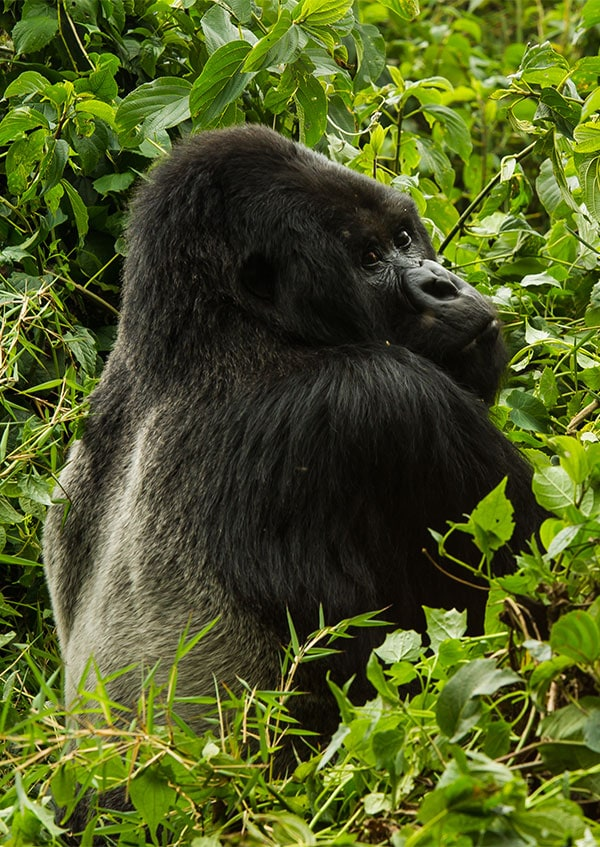 Rwanda: Track the rare Mountain Gorilla in the rain forests of Volcanoes National Park