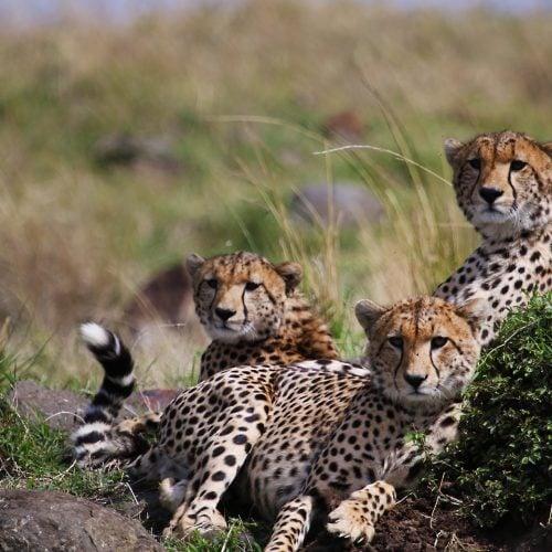 14._cheetahs1