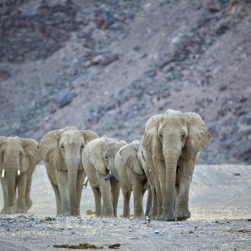 28hoanib_valley_camp_-_wildlife_-_elephants12