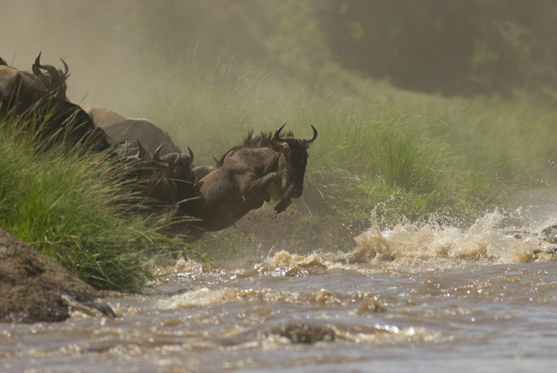 Kenya & Rwanda Safari Wildebeest