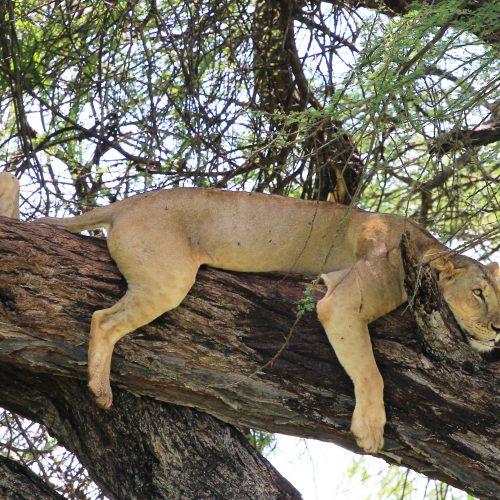 Elsas Kopje - rock climbing lions