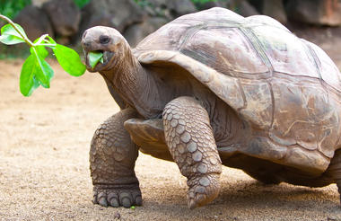 big_seychelles_turtle