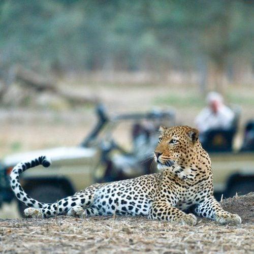 om_leopard_car_tail-120